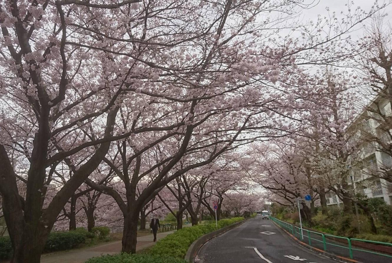 練馬高野台の桜2