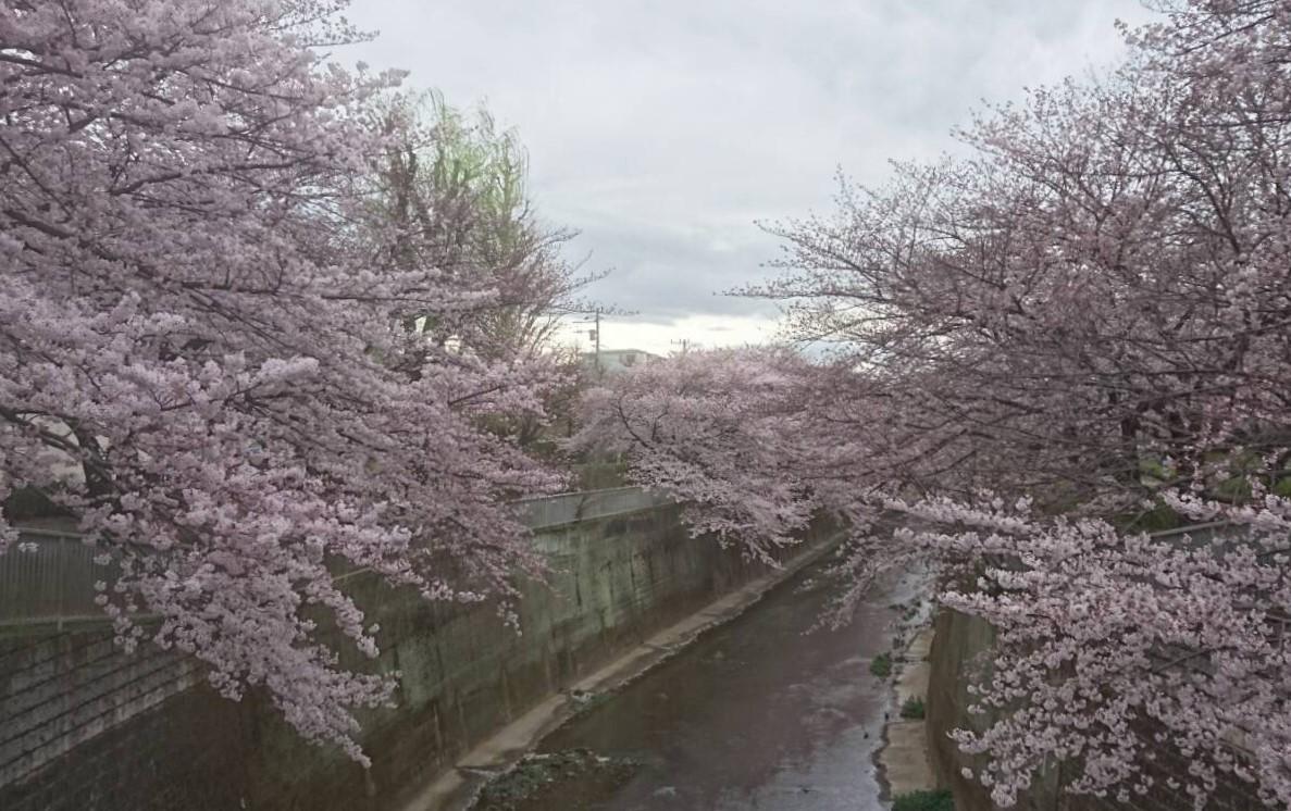 練馬高野台の桜1
