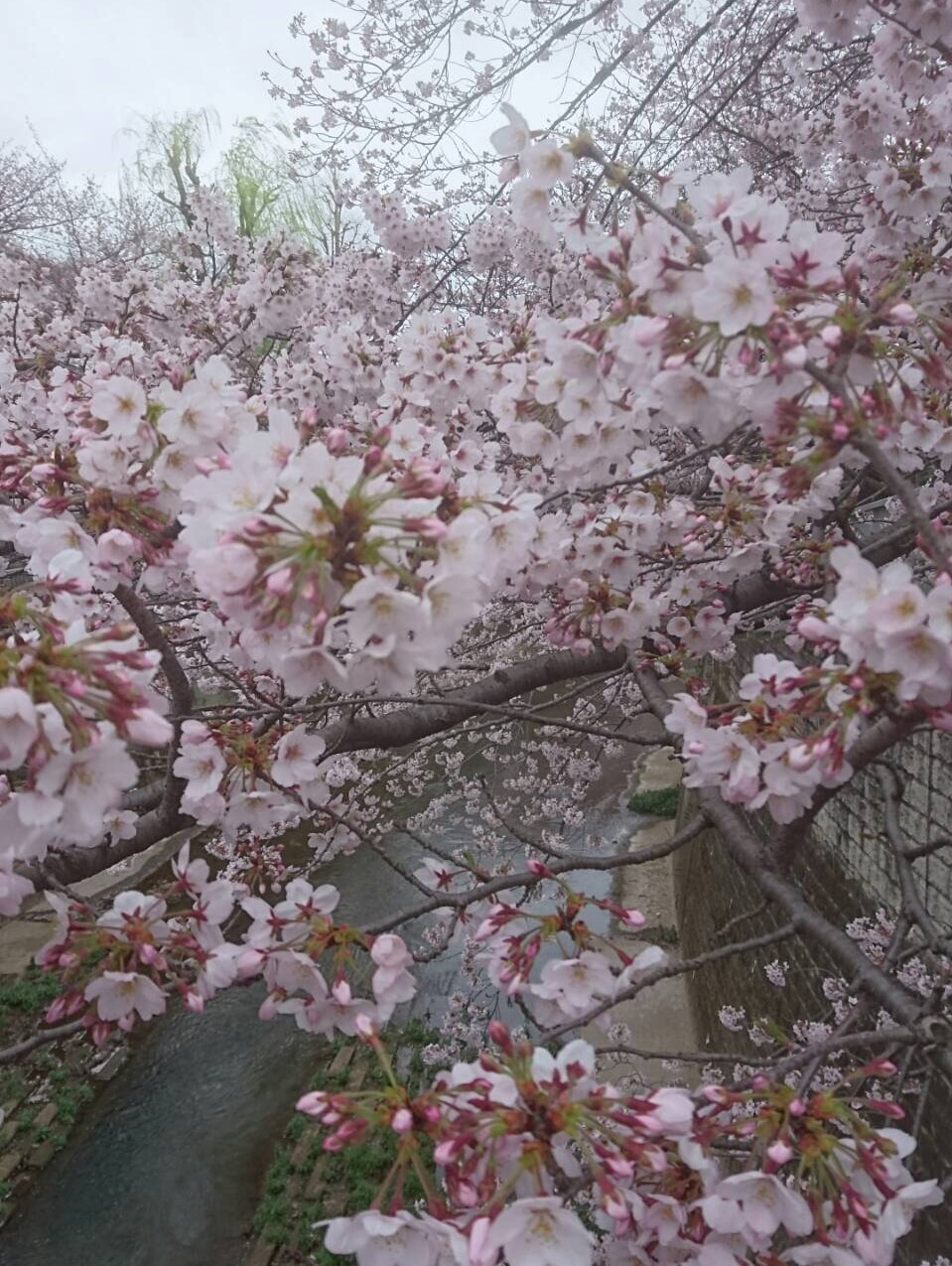 練馬高野台の桜3